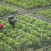 Gambia_farm_ActionAidInternational